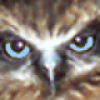 Picture of Owl Ninox